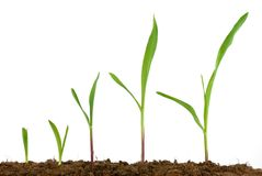 corn-seedling-growing-137566261